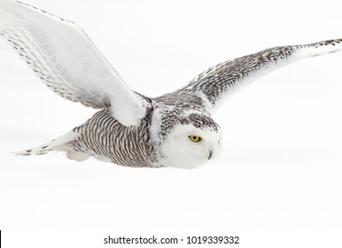 Snowy owl Bubo scandiacus isolated on white background flies low hunting over an open snowy field in Canada