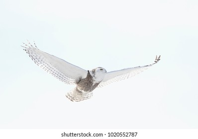 Snowy owl Bubo scandiacus isolated on white background flies high hunting over an open snowy cornfield in Ottawa, Canada