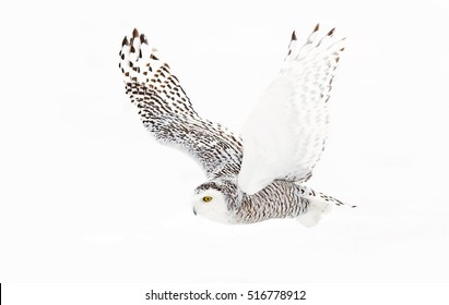 Snowy owl Bubo scandiacus isolated on white background flies low over hunting an open snowy field in Ottawa, Canada