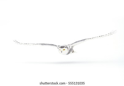 Snowy owl Bubo scandiacus isolated on white background flying low and hunting over a snow covered field in Ottawa, Canada