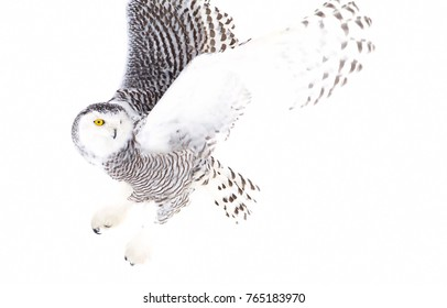 Snowy owl Bubo scandiacus isolated on white background hunting over an open snowy field in Ottawa, Canada