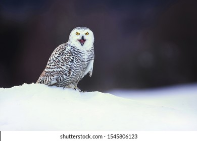 Snowy owl (Bubo scandiacus) is a large, white owl of the true owl family. Snowy owls are native to Arctic regions in North America and Eurasia.