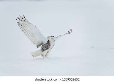 Snowy owl (Bubo scandiacus) lift off and flies low hunting over a snow covered field in Ottawa, Canada - Image