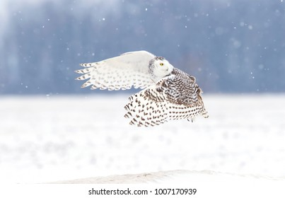 Snowy owl Bubo scandiacus lifts off and flies low hunting over a snow covered field in Ottawa, Canada