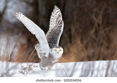 Snowy owl Bubo scandiacus lifts off to hunt over a snow covered field in Canada