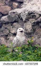 Snowy owl or Bubo scandiacus looks like it smiles
