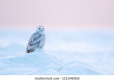 Snowy Owl (Bubo scandiacus) perched on a mound of ice and snow at sunset in Ontario