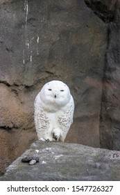 The snowy owl (Bubo scandiacus) stands on the rock with funny face. It is a large, white owl of the true owl family. Snowy owls are native to Arctic regions in North America and Eurasia.