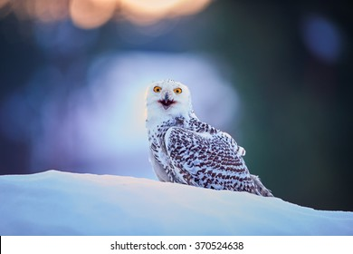 Snowy owl Bubo scandiacus,white owl with black spots and bright yellow eyes, sitting on snow in very colorful morning light. Opened beak,staring directly at camera.Frost winter in the northern tundra.