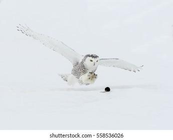 Snowy Owl Catching Vole