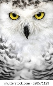 snowy owl close up, yellow eyes