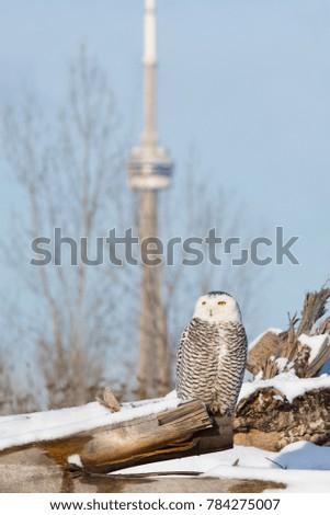 snowy-owl-decorates-toronto-ontarios-450