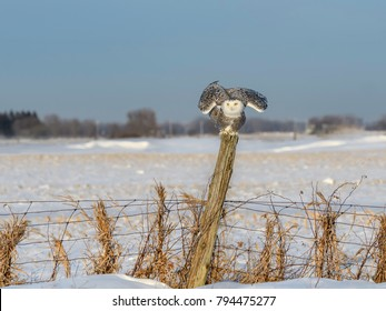Snowy Owl Female with Open Wings Sitting on Fence Post