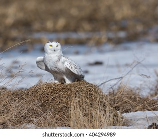 Snowy Owl in the Field