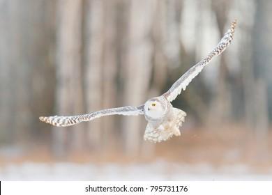 Snowy owl in flight, birch tree forest in background. Snowy owl, Nyctea scandiaca, rare bird flying, winter action scene with open wings, Finland.
