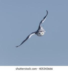Snowy Owl in Flight on Blue Sky