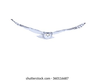 Snowy Owl in Flight on White Background, Isolated