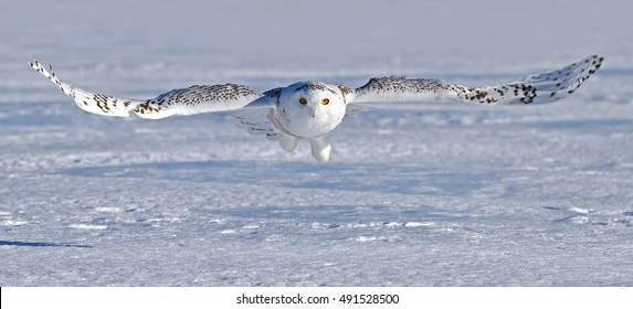 Snowy owl flying low and hunting over a snow covered field in Ottawa, Canada