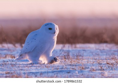 Snowy Owl foraging in the snow