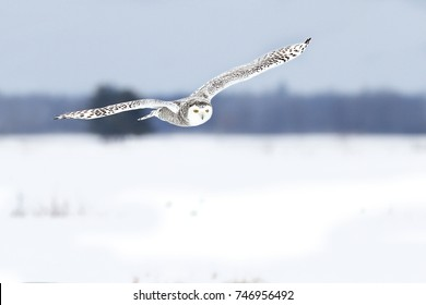 Snowy owl hunting over an open snowy field in Ottawa, Canada