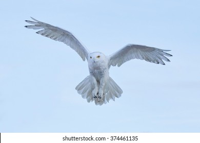 Snowy owl, Nyctea scandiaca, rare bird flying on the sky, winter action scene with open wings, Greenland.