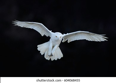 Snowy owl, Nyctea scandiaca, white rare bird flying in the dark forest, winter action scene with open wings, Canada. Wildlife scene from nature.