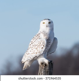 Snowy Owl on Blue Sky