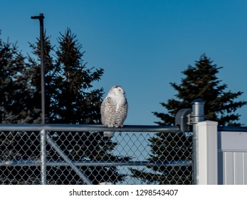 Snowy Owl on a chain link fence in Grand Traverse County