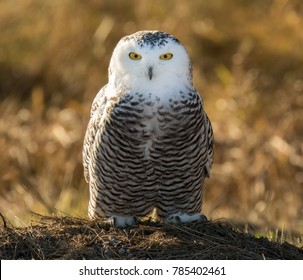 snowy owl on ground perch