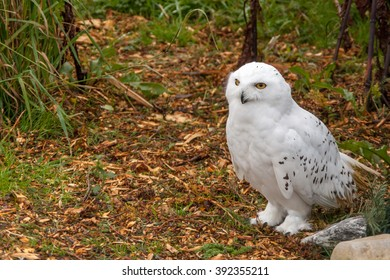 A Snowy owl on the ground surrounded by shrubs and shredded bark.