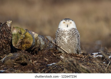 Snowy Owl on seashore