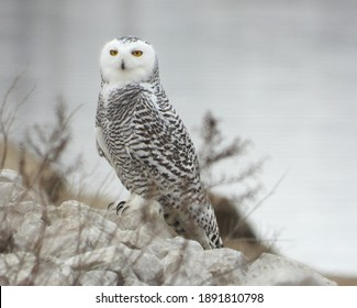 Snowy Owl on a winters day