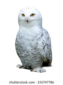 snowy Owl over white background with shade