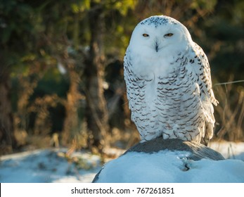 Snowy owl perched on log with snow