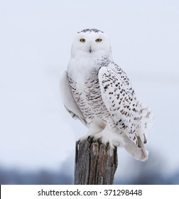 Snowy Owl Perched on Post