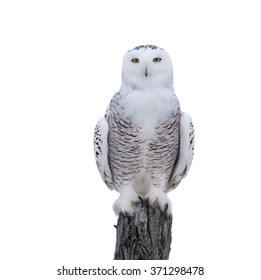 Snowy Owl Perched on Post on White Background, Isolated