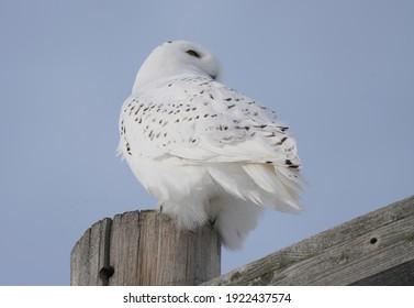 Snowy Owl in the Prairies of Saskatchewan Canada