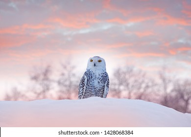 Snowy owl sitting on the snow in the habitat. Cold winter with white bird. Wildlife scene from nature, Manitoba, Canada. Owl on the white meadow, animal behaviour. Twilight pink evening owl sunset