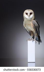 Snowy owl sitting on white box