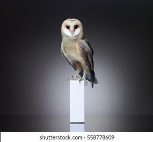 Snowy owl sitting on white box