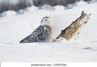 snowy owl in snow