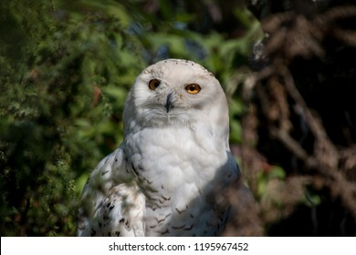 snowy owl in the spring forest