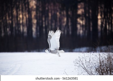 Snowy owl takes flight at sunset in northern michigan