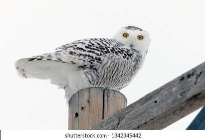 Snowy Owl Winter Canada Pole perched Saskatchewan