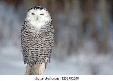 Snowy Owl in winter, sitting  on post, hunting.