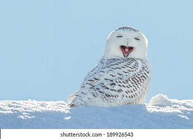 Snowy owl yawning, which makes it look like it's laughing. Copy space to left.