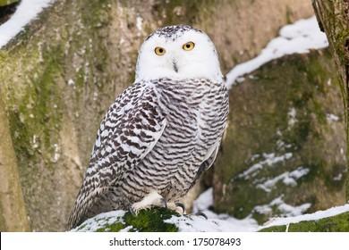 Snowy Owl in ZOO Liberec in Czech Republic
