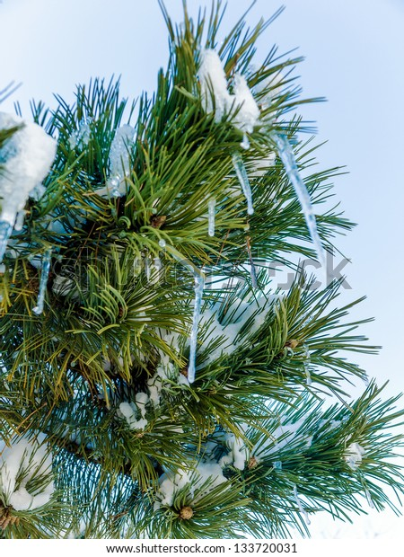 Snowy pine branch with icicles
