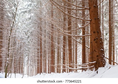 Snowy pine forest in the mountains.