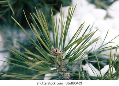 Snowy pine tree branches, closeup